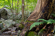 Vernon, New Jersey - Ferns, rocks and a trail marker on a tree on the  Appalachian Trail at the base of  Wawayanda Mountain on Sept. 22, 2012.