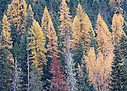 Autumn Tamarack Forest, Idaho