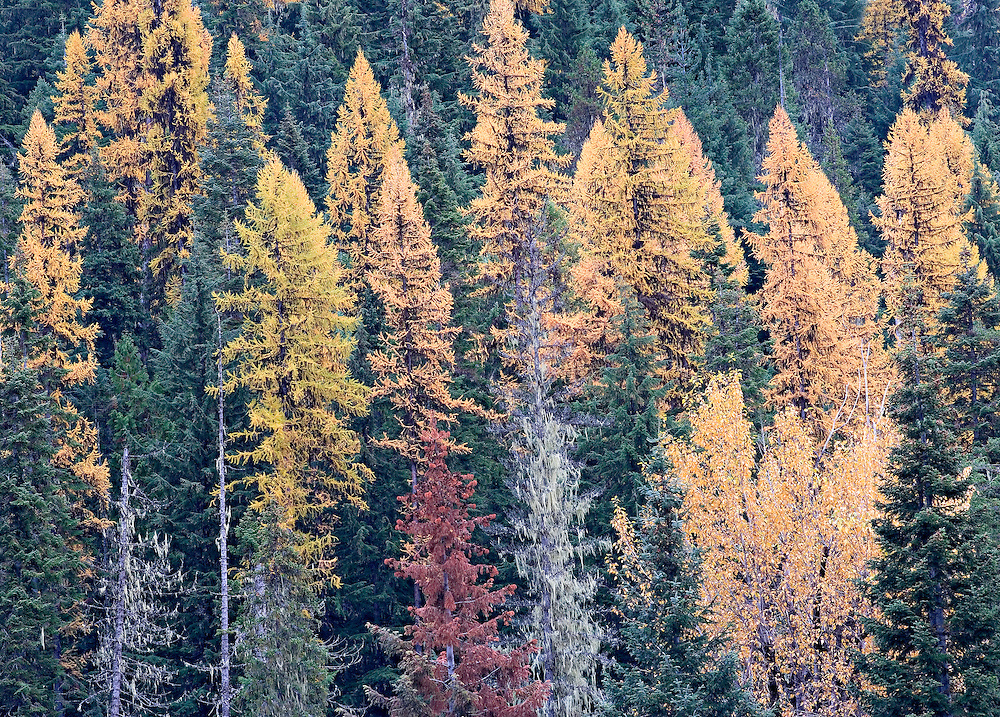autumn tamarack forest Idaho