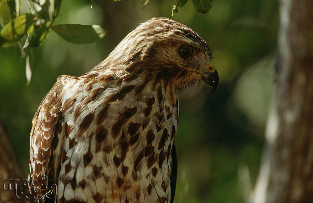 Close-up of Merlin (Falco columbarius)