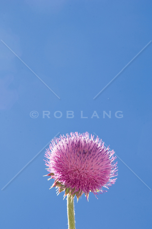 Pink flower against clear blue sky