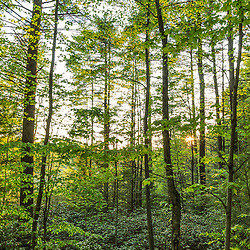 Mountain laurel, Kalmia latifolia, fills the understory of a forest in Barrington, New Hampshire.