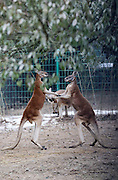 HANGZHOU, CHINA - JANUARY 27: (CHINA OUT) <br /> <br /> Two kangaroos fight  at Hangzhou Safari Park on January 27, 2016 in Hangzhou, Zhejiang Province of China. They are not fighting actually but just playing, said a worker in the park<br /> ©Exclusivepix Media