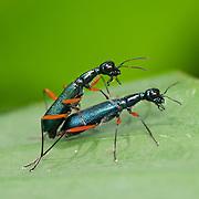 Neocollyris bonelli Tiger beetle in Chalern Phrakiat Thai Prakan National Park, Thailand.