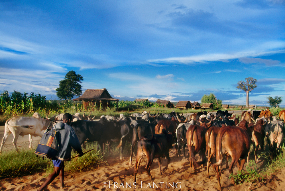 Man herding cattle, Southern Madagascar