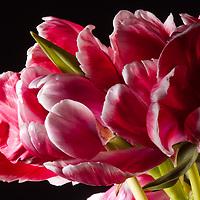 Parrot Tulip-927