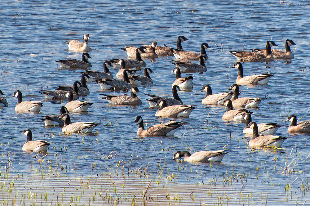 A close-up of a massive gaggle of Aleutian cackling geese in the Nisqually National Wildlife Refuge between Tacoma & Olympia, Washington. Until 2004 the cackling goose was considered same species as the Canada goose, but is the size of a duck, has a very short bill, and has a much higher-pitched honk. The Aleutian cackling goose subspecies breeds in northern Alaska and Canada in the tundra near water, and travels south to California in winter. Making a comeback from near extinction, it has now been removed from the endangered species list.