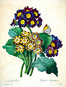 19th-century hand painted Engraving illustration of Primula auricula flowers, often known as auricula, mountain cowslip or bear's ear  flower, by Pierre-Joseph Redoute. Published in Choix Des Plus Belles Fleurs, Paris (1827). by Redouté, Pierre Joseph, 1759-1840.; Chapuis, Jean Baptiste.; Ernest Panckoucke.; Langois, Dr.; Bessin, R.; Victor, fl. ca. 1820-1850.