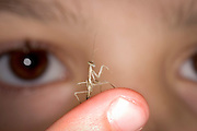 A seven year old girl looks at a newly hatched praying mantis nymph (Tenodera sinesis). (released)