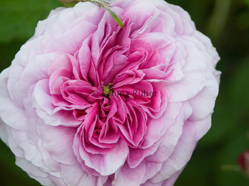 Rosa 'Président de Sèze' - shrub rose