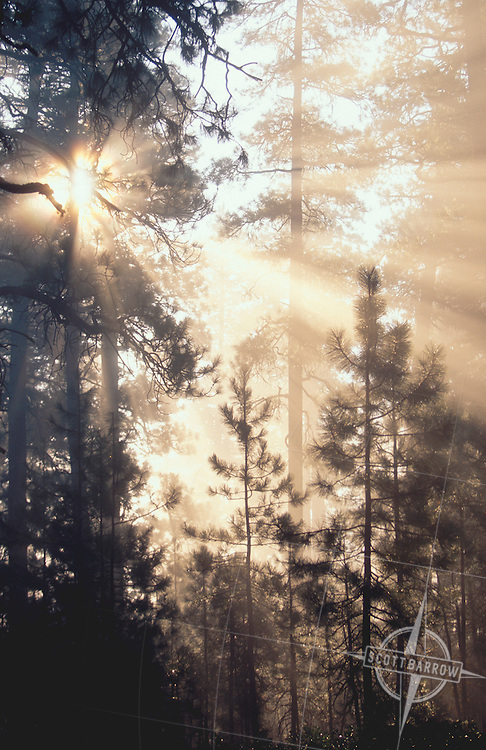 Shafts of sunlight streaming through trees in morning fog.