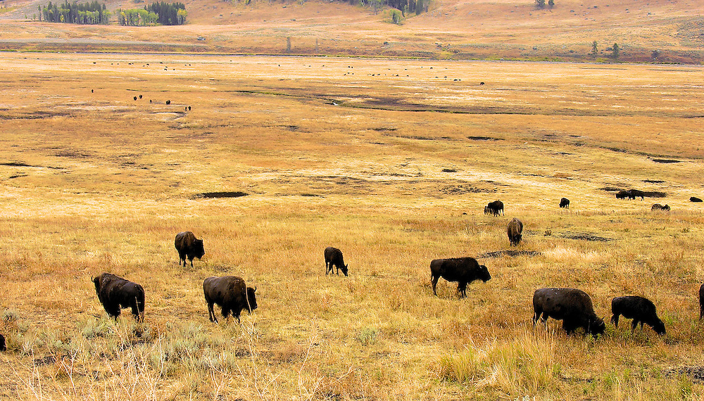 A herd of bison wanders along one of Yellowstone National Park's9 meadows. Wyoming.