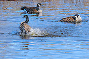 Canada Goose - Branta canadensis bathing in the pond