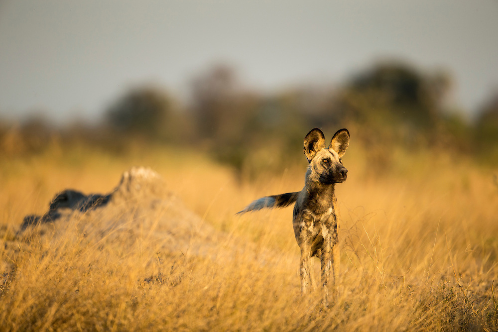 Africa, Botswana, Moremi Game Reserve, Wild Dog (Lycaon pictus) standing at dawn in tall grass in Okavango Delta