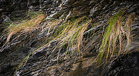 Grass growing on a cliffside, Orcas Island, Washington, USA.