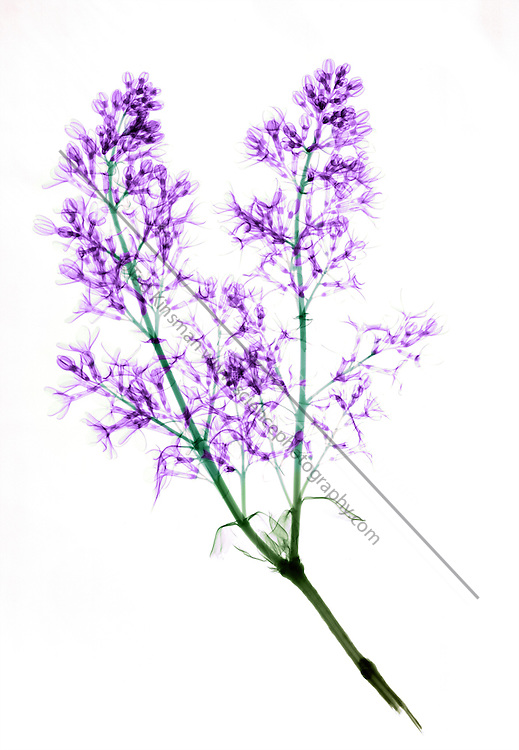 An xray of a blooming lilac.