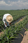 Farm worker inspecting pineapple crops.