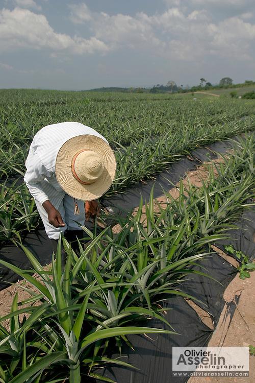 Farm worker inspecting pineapple crops.