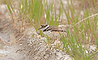 Early May 2016 this Killdeer chick is exploring the short grass in the Bear River Bird Refuge in northern Utah.