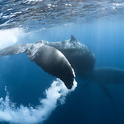 This is a pair of humpback whales (Megaptera novaeangliae) engaged in courtship, with one of the whales creating a dramatic swirling trail of bubbles with its fluke. Photographed in Vava'u, Kingdom of Tonga.