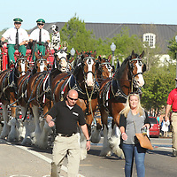The World Renowned Budweiser Clydesdales, steered by Manny Raber, Rudy Helmuth and Bud, make their way west on Main Street to make deliveries to downtown restaurants in Tupelo late Friday afternoon.