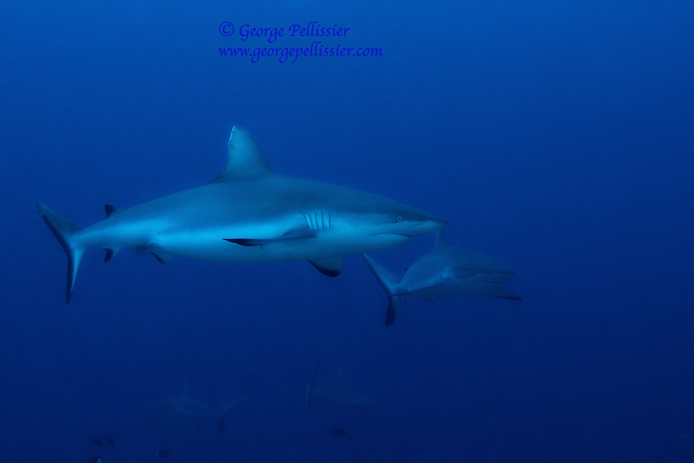 Grey Reef Sharks (Carcharhinus Amblyrhynchos) in Moorea, French Polynesia.