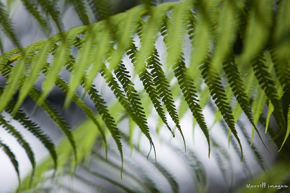 Ferns, Sachatamia Lodge, Mindo, Pichincha province, Ecuador, South America.