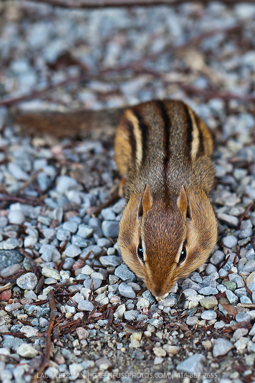 The Eastern chipmunk (Tamias striatus) showing its puffy cheeks which are packed with food.