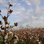 Cotton field in Cane River, LA. Photo by Lori Waselchuk
