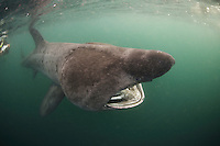 Basking Shark (Cetorhinus maximus); in the area of the Island of Mull; Scotland<br /> (Coll and Tiree Islands area) - June 2009
