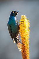 Greater blue-eared glossy starling, Satara, Kruger National Park, South Africa
