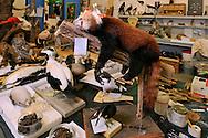 Workshop of the preparator Jens Ziegler..Preparation laboratory, the Senckenberg Natural History Collection Dresden..Werkstatt des Praeparators Jens Ziegler..Praeparatorium, Senckenberg Naturhistorische Sammlungen Dresden.