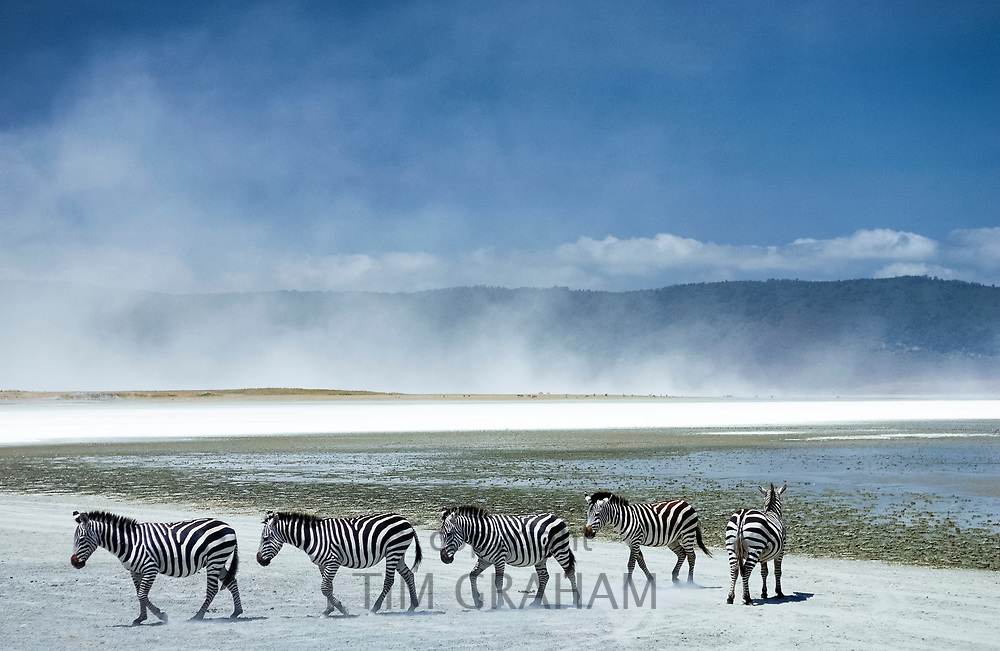Herd of Common Plains Zebra, Grant's, by the salt pan of Lake Magadi in the  Ngorongoro Crater, Tanzania, Africa