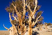 Ancient Bristlecone Pines (Pinus longaeva) in the Patriarch Grove, Ancient Bristlecone Pine Forest, White Mountains, California