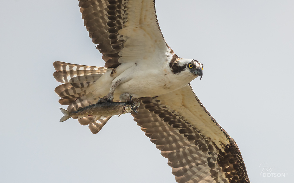 Osprey with Whitey en route to nest.
