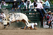 061811-Evergreen, COLORADO-evergreenrodeo-Bull rider Garrett Lowham, of Cody, WY, is thrown to the ground during the Evergreen Rodeo Saturday, June 18, 2011 at the El Pinal Rodeo Grounds..Photo By Matthew Jonas/Evergreen Newspapers/Photo Editor