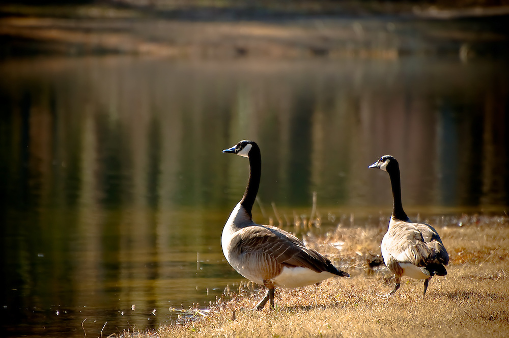 A pair of Canada geese photographed in Southern Alabama. I couldn't have asked for better natural lighting!