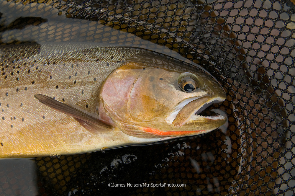 A cutthroat trout in a net on the South Fork of the Snake River, Idaho.