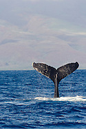 Humpback Whale, Megaptera novaeangliae, Tail Wave 4 of 8, Maui Hawaii