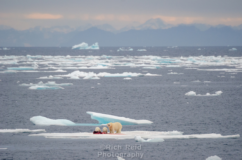 Polar bear sow and two cubs on a seal kill at 69˚ north in the Greenland Sea.