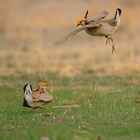 Male Lesser Prairie Chickens on the lek, compete for the attention of hens.