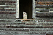 Great horned owl (Bubo virginianus) ledge of an old abandonned farm house<br />