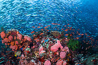 Clouds of Fusliers and Anthias block out the sun<br /> <br /> <br /> Shot in Indonesia