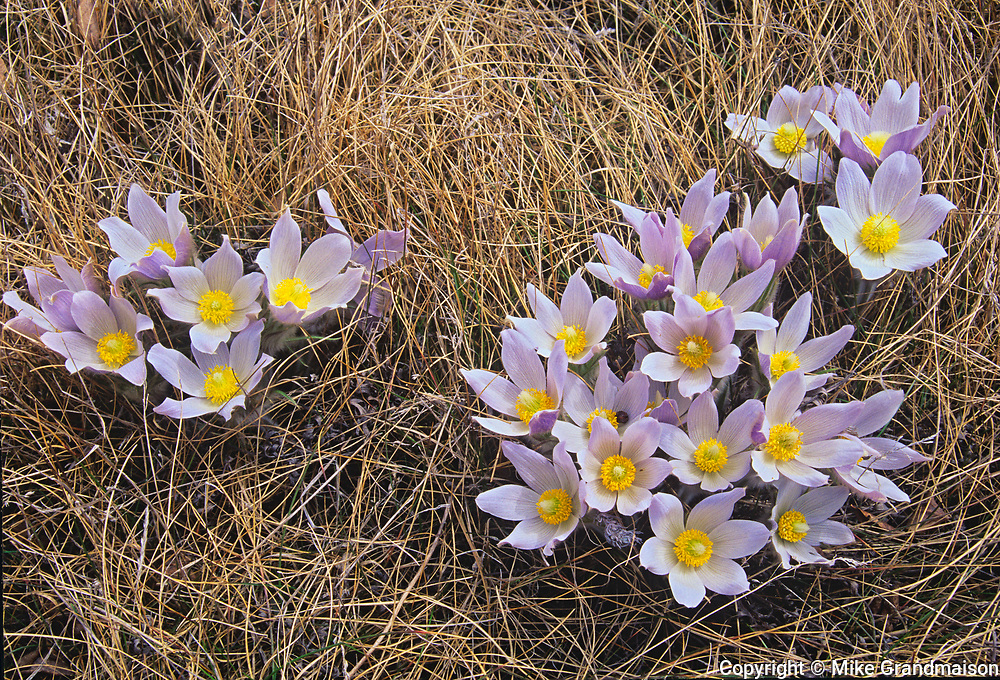 Clump of Prairie Crocuses (Anemone patens) in Little Mountain Park, Winnipeg, Manitoba, Canada