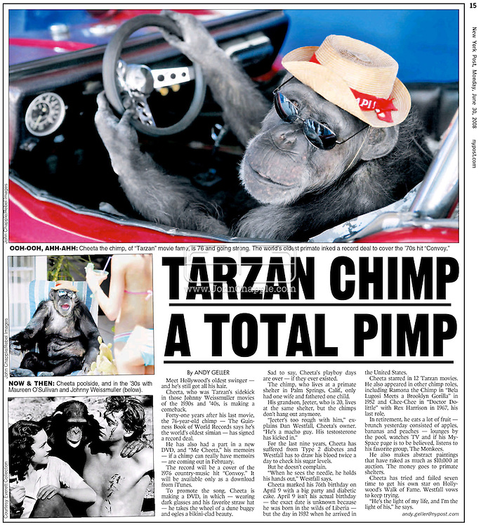 New York Post, 30th June 2008 Page 15..EXCLUSIVE 24th June 2008, Palm Springs, California. 76-year-old Cheeta, star of many Hollywood Tarzan films of the 1930s and 1940s, is coming out of retirement. Recognized as the oldest chimpanzee alive, the Palm Springs resident has just signed a record deal. To celebrate the signing, Cheeta made a promo music video to accompany his cover of the 1975 hit song 'Convoy'. PHOTO &copy; JOHN CHAPPLE / www.johnchapple.com<br /> tel: +1-310-570-9100