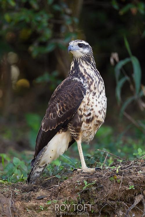 Great Black Hawk (Buteogallus urubitinga), Pantanal, Brazil