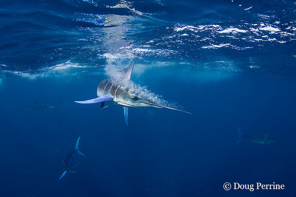 striped marlin, Kajikia audax (formerly Tetrapturus audax ), slashes with bill at sardines or pilchards, Sardinops sagax, off Baja California, Mexico ( Eastern Pacific Ocean )