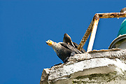 Cormorant bird looking down from the lighthouse cut out against a clear blue summer sky, Celestun, Mexico