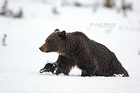 Grizzly bear walking through deep snow in the Canadian Rockies in springtime