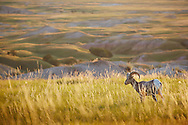 A big horn sheep stands in a field of grass high above the prairie in Badlands National Park, South Dakota.